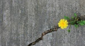 dandelion-sidewalk-crack